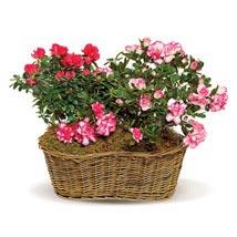 Awesome Azaleas: Thank You Flowers Canada