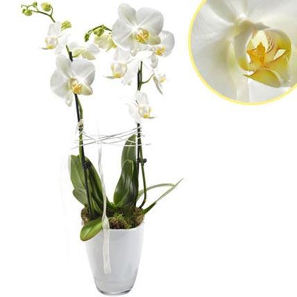 Pristine Orchids