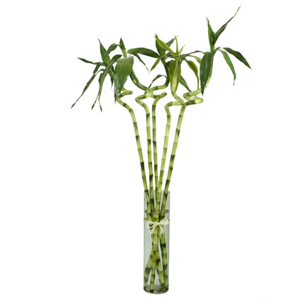 5 spiral stick lucky bamboo gift 5 stalked spiral bamboo sticks in a glass vase ferns n petals. Black Bedroom Furniture Sets. Home Design Ideas