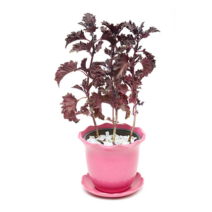 Black Basil in Planter