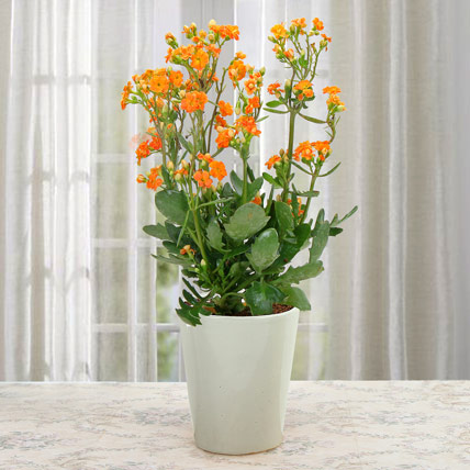 Love For Kalanchoe