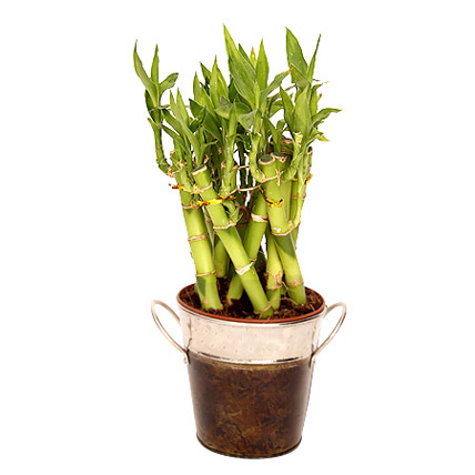 Lucky Bamboo In Metal Vase