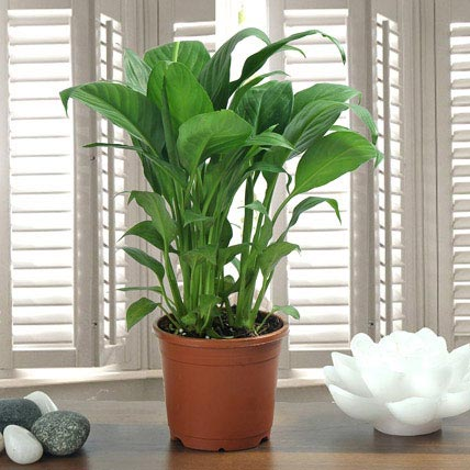 Peace Lily Plant Gift Peace Lily Plant In A Vase Ferns