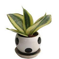 Plant Sansevieria