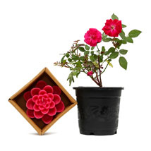 Rose Plant and Candle