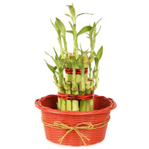2 layers Lucky Bamboo in Fiber Woven Basket: Send Plants for Anniversary