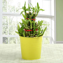 3 layer lucky bamboo: Lucky Bamboo for Friendship Day