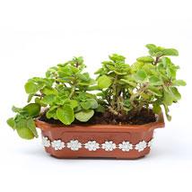 Ajwain Plant: Plants for Him