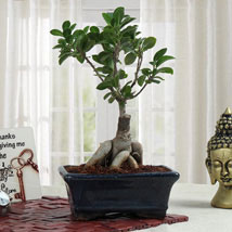 Bonsai Beauty: Plants to Hyderabad