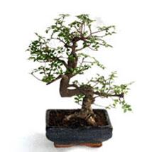 Bonsai Carmona Plant: Bonsai Plants
