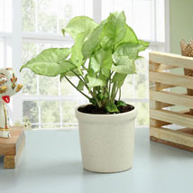 Elegant Syngonium Plant