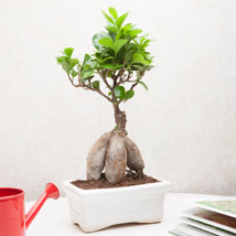 Exotic Ficus Bonsai Plant