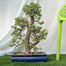 Exquisite Jade Bonsai Plant