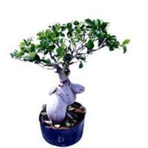 Ficus Microcarpa 400gm: Bonsai Plants