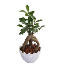 Ficus Microcarpa Plant: Send Plants for Anniversary