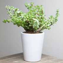 Lively Jade Plant