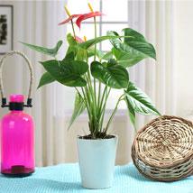 Lovely Anthurium Plant