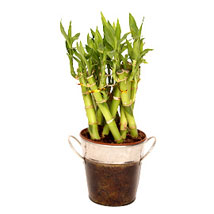 Lucky Bamboo In Metal Vase: Feng Shui Gifts