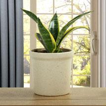 MILT Sansevieria Plant