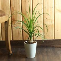 Ponytail Bamboo Palm