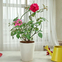Rose Beauty: Plants - Same Day Delivery