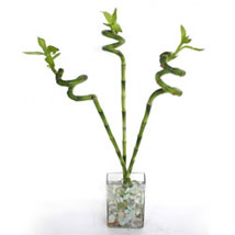 Spiral lucky sticks: Send Lucky Bamboo to Ghaziabad