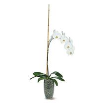 Potted Phalaenopsis: Rakhi to Philippines